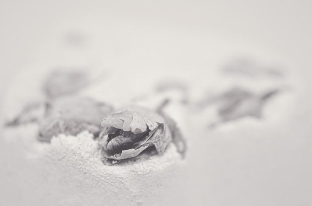 froze rose