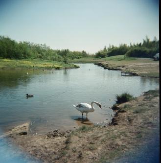 Swan at Wardley