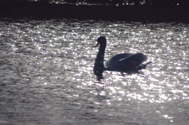 Sparkly swan