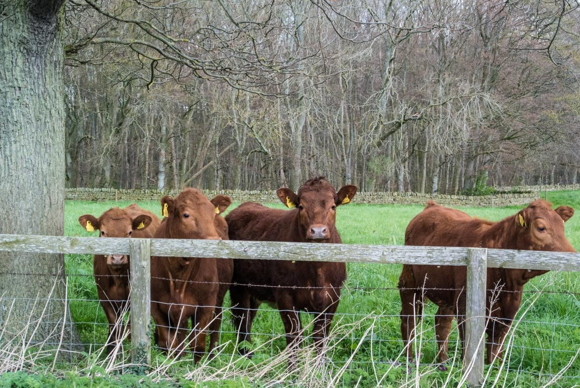 The Cows of Haydon Bridge