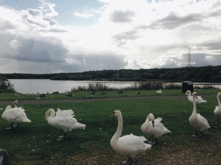 swans at Woodhorn