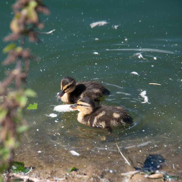duckletts