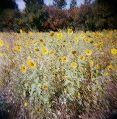 sunflowers,