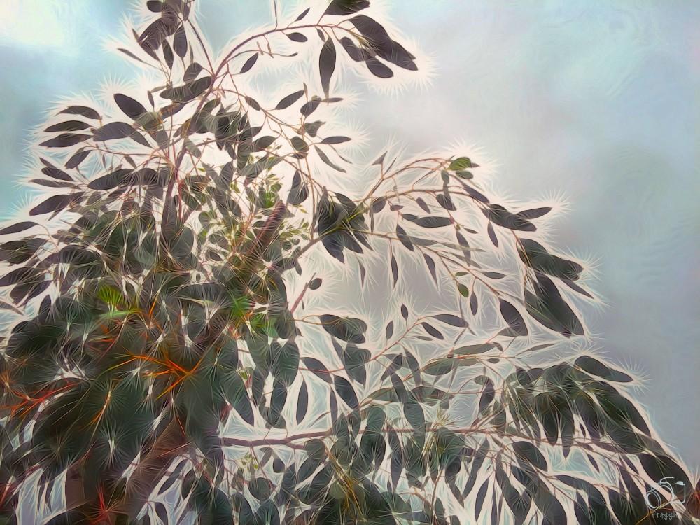 Eucalyptus 2
