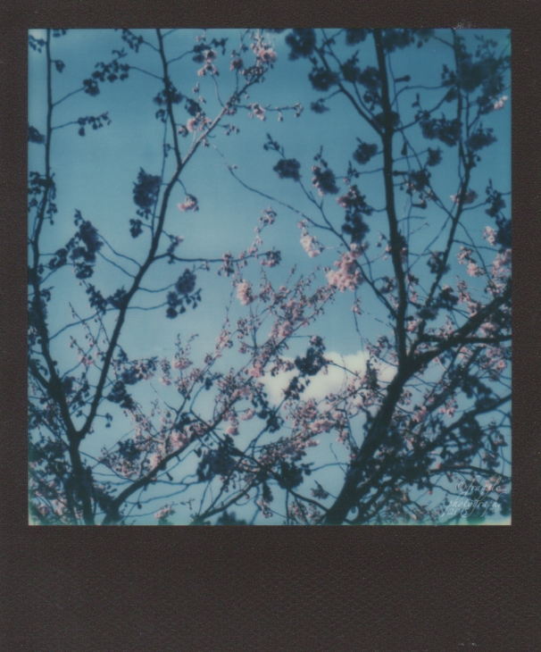 Blossom (sx70}