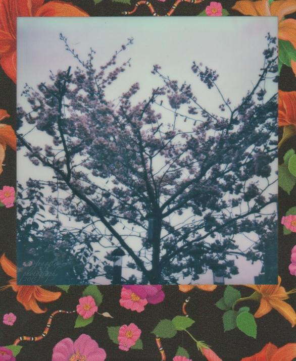 Blossom tree April 15