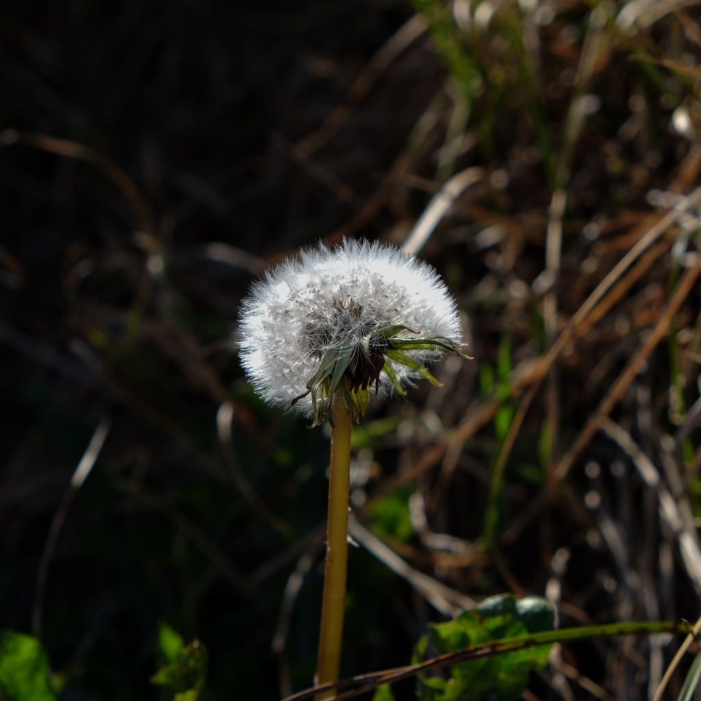 Dandelion going
