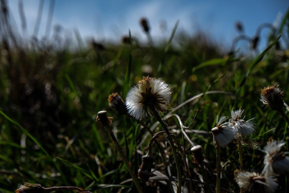 more dandelions