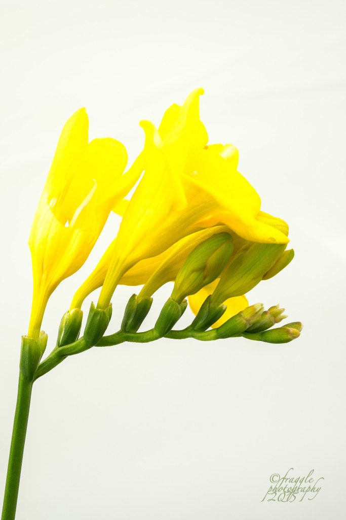 lost a bit of detail in the  yellow petals on this one