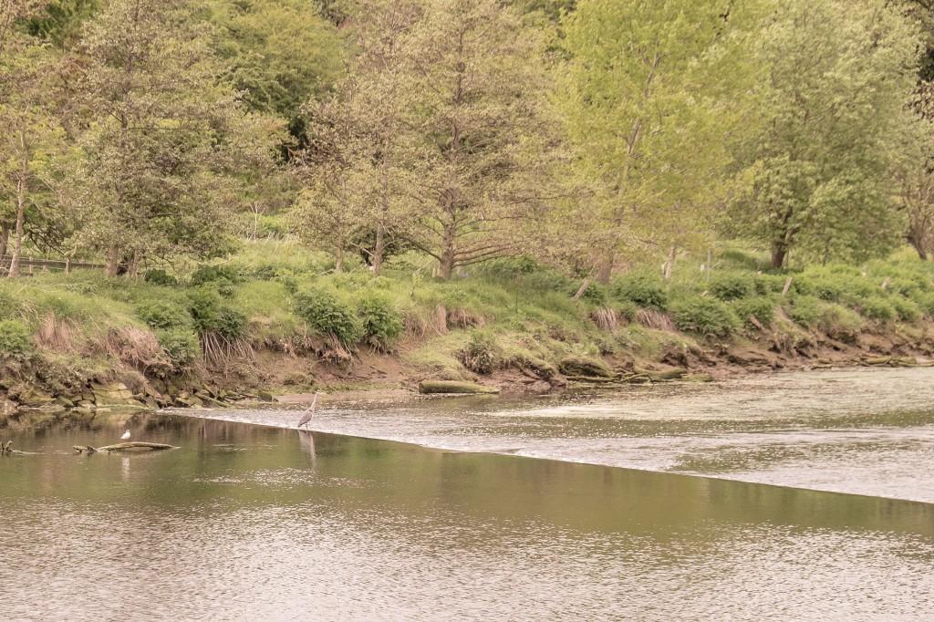 Heron fishing.