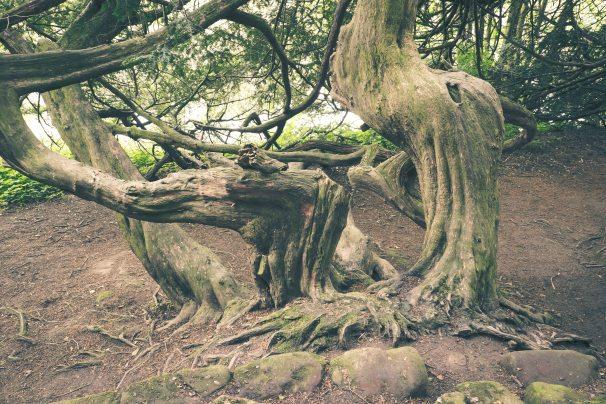 The Hermitage Tree