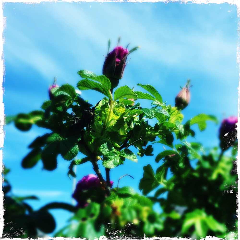 Reaching rosebuds