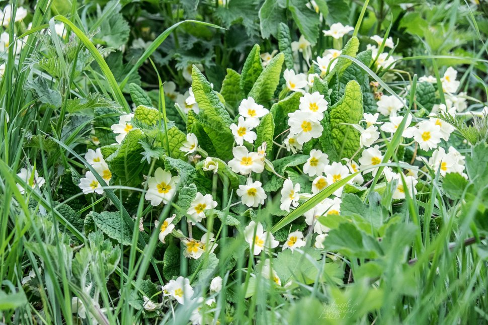 primroses in the grass