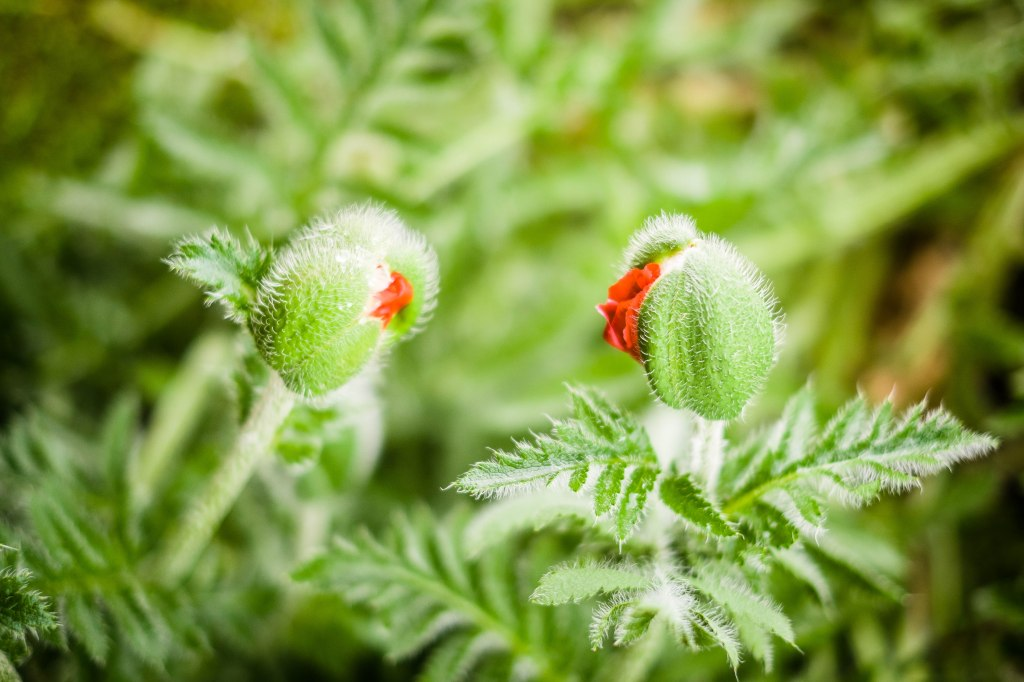 Chatting poppies