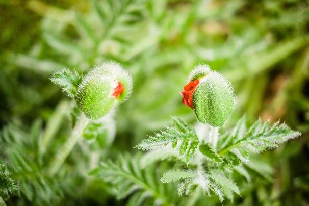 Chatting poppies