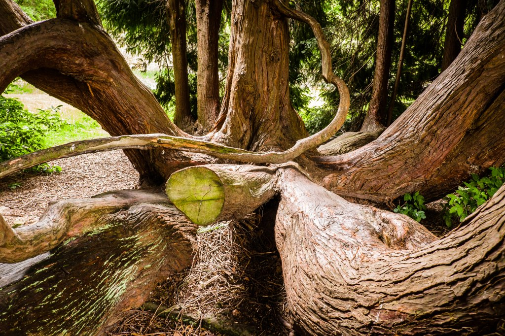Trunks of the Yew