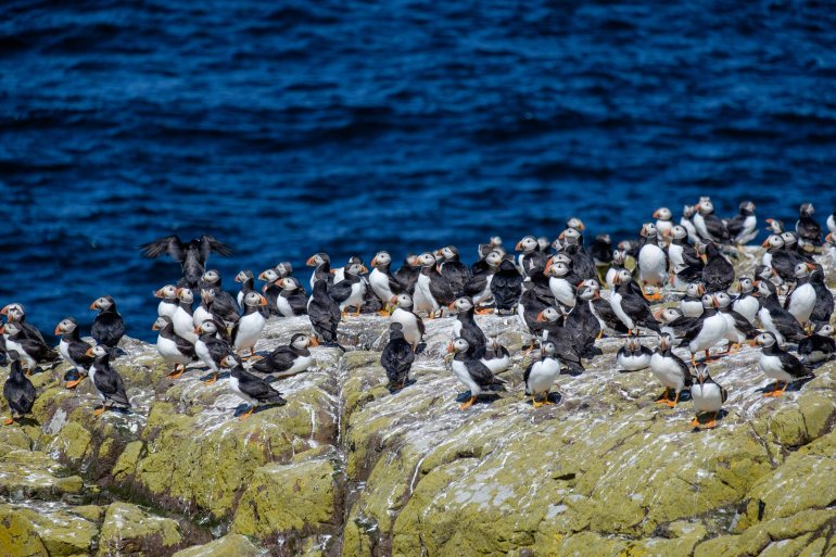 a herd of puffins