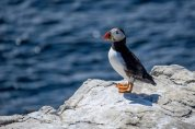 July~Farne Islands,Puffin