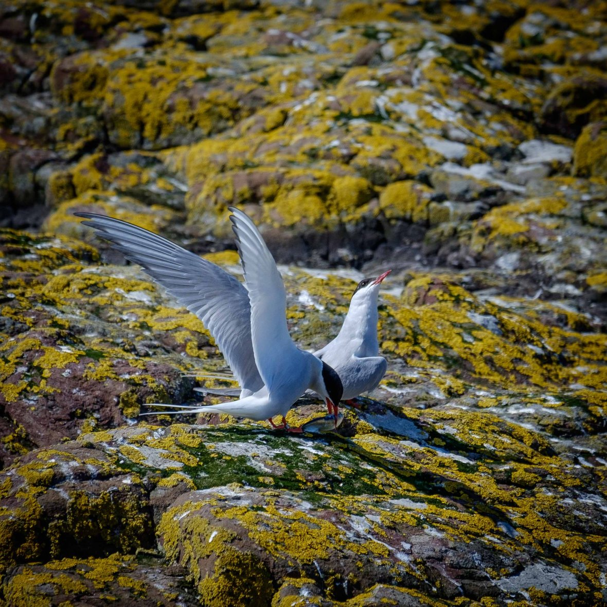 Arctic Tern feeding it's teenager