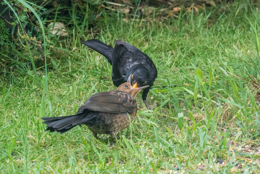 Mr.Blackbird feeding his teenager!
