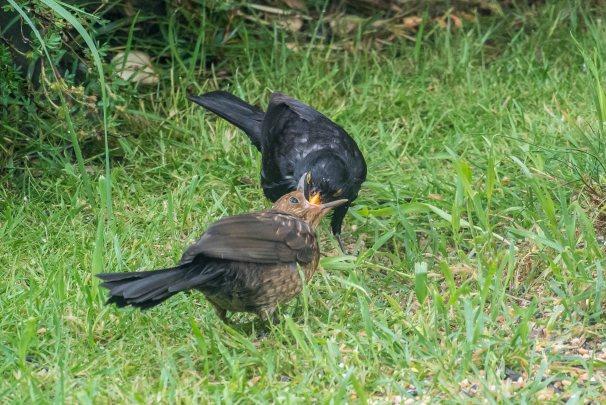 Mr.Blackbird feeding his teenager!