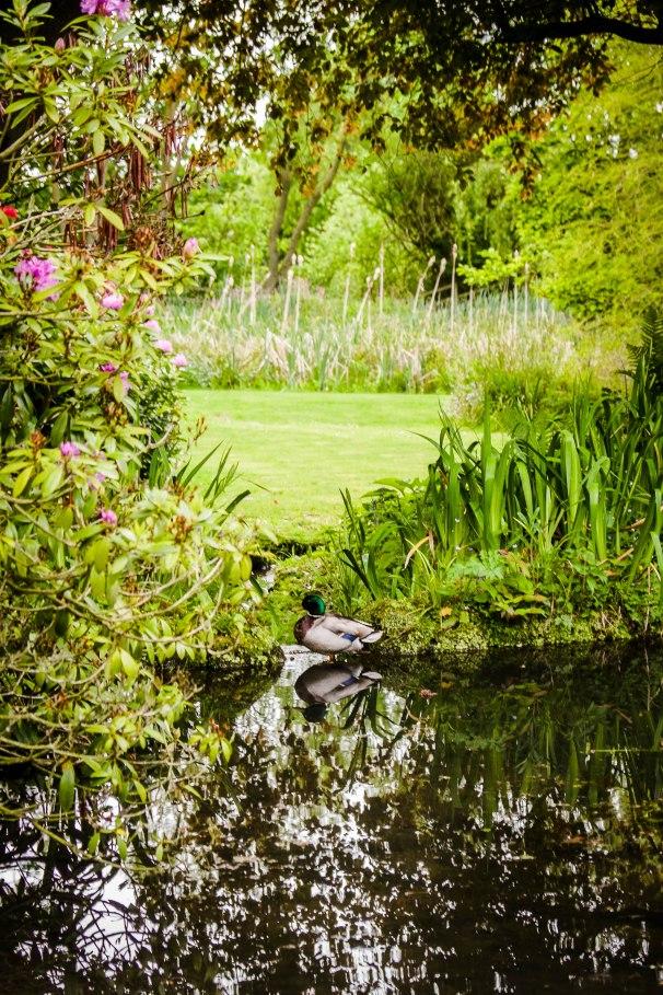 duck, reflecting.