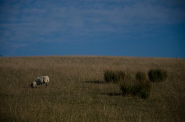 unfaffed sheep shot