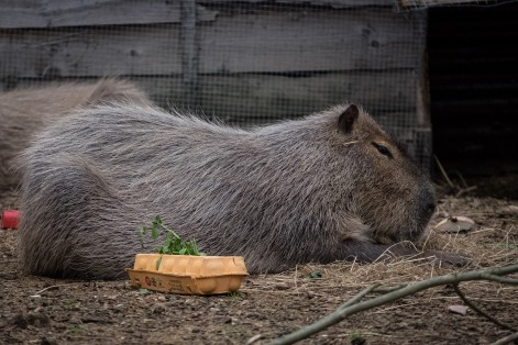 Capybara breakfast