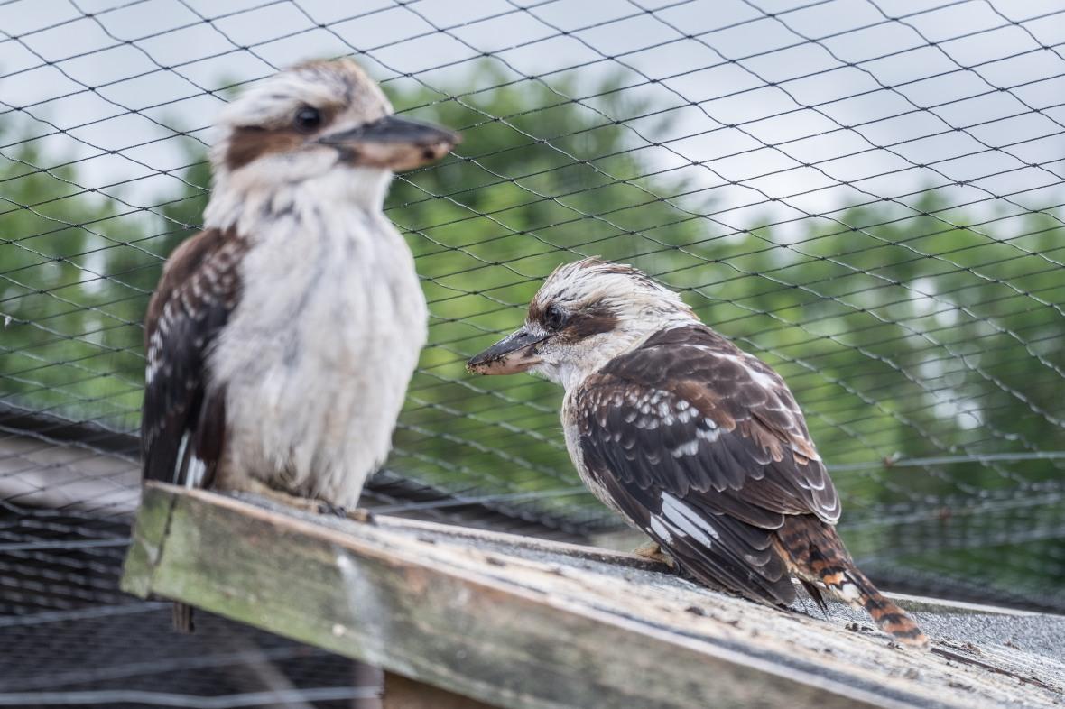 Mr & Mrs Kookaburra