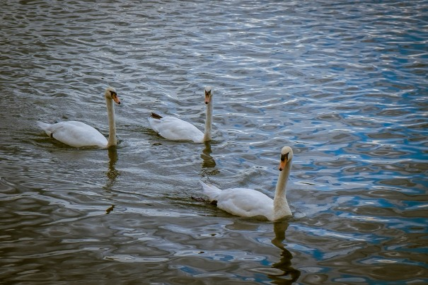 Swans at the lake