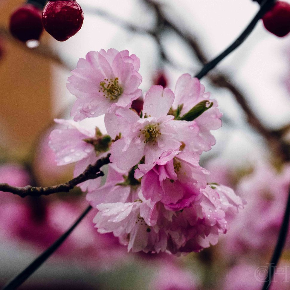 blossomrainw