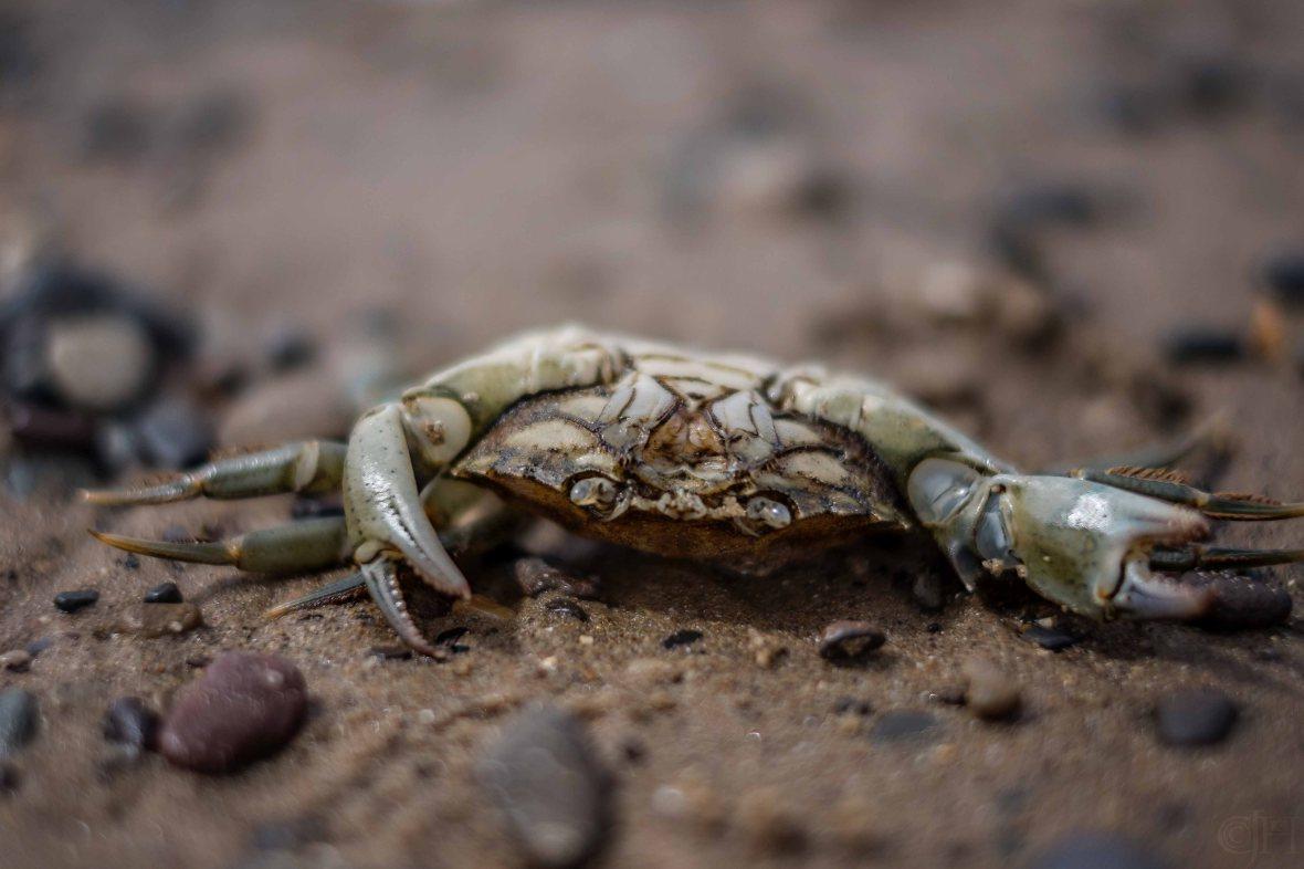crab, not alive :/
