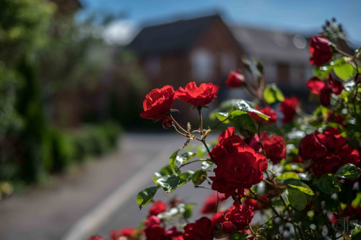 neighbours roses