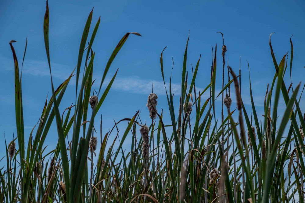 rushes and reeds