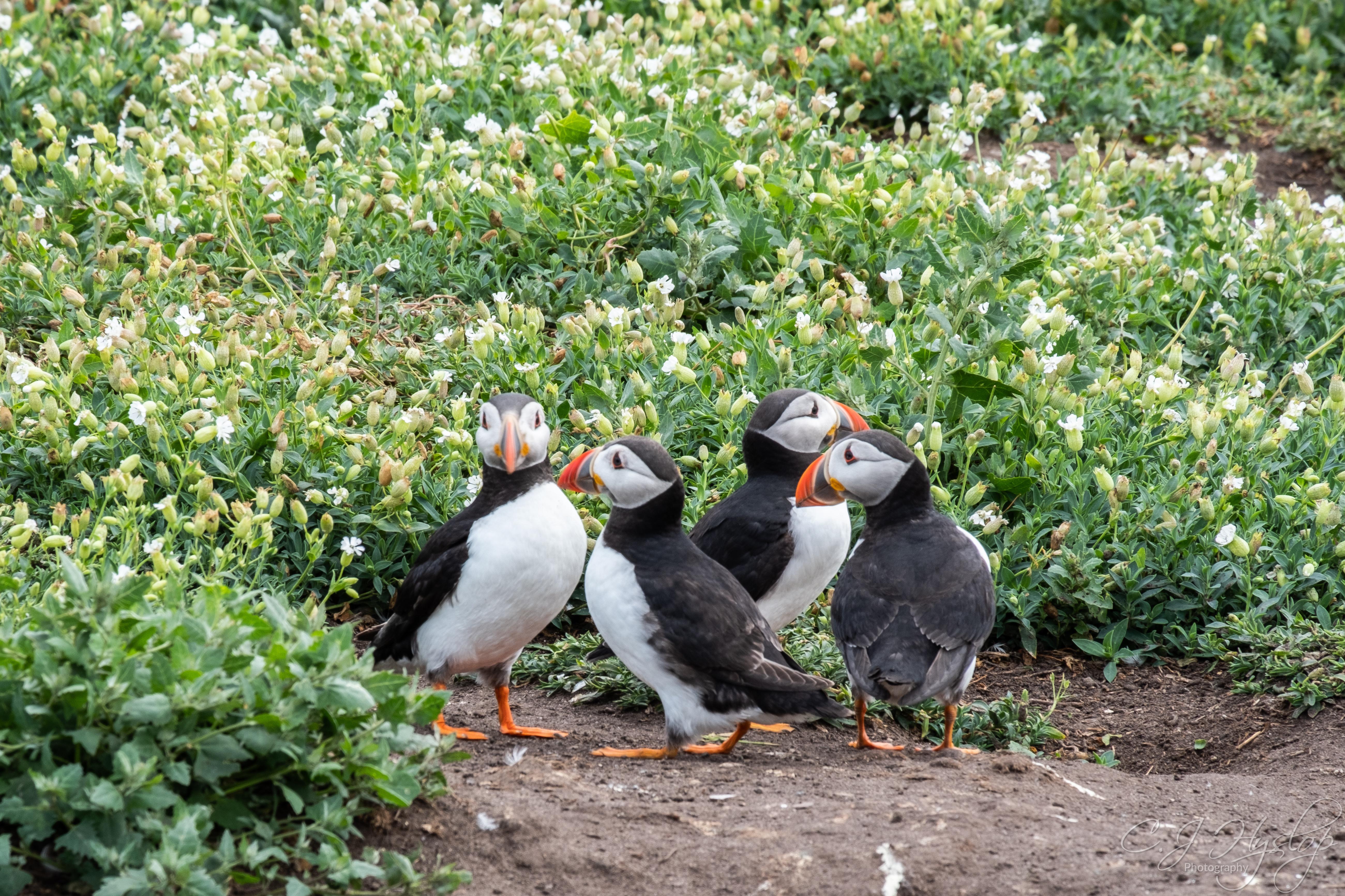 Farne Island – July 2018- Part 2- Puffin-fest